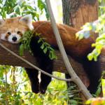 toruinform_kis_panda